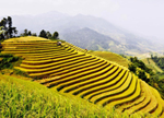 sapa_rice_field